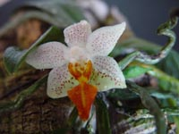Phalaenopsis Micro Nova by Th. Stute
