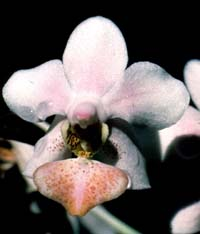 Phalaenopsis Pink Heart by O.Gruss