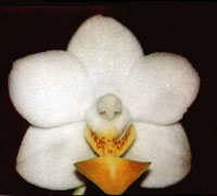 Phalaenopsis Kung's Amar Philipp by O.Gruss